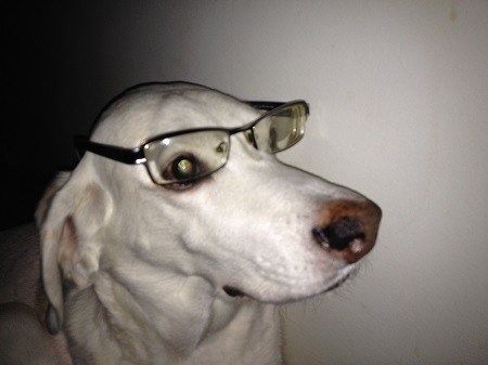 THIS DOG WARES GLASSES AND WHENT TO A HUGELY ACREDITATED COLLEGE OF CANINE SCINECE!